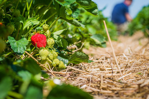 Strawberry field. Garden-bed with some ripe fruit. man gathering fruits in background