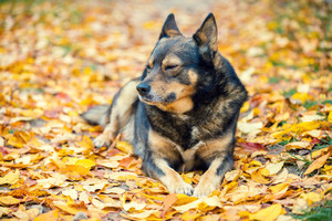 Stray dog lying on the fallen leaves in park