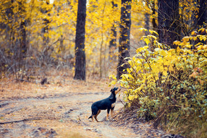 Stray dog walking in the autumn forest