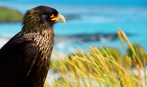Striated Caracaras overlooking Sea Lion Island coastline