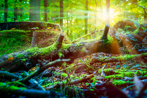 Sun rays shining thought the old fallen tree covered by moss in a forest