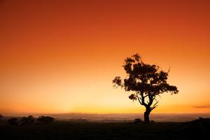 Sun rises behind an Australian gum tree
