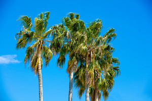 Tall palm trees against blue sky