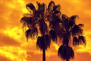 Tall palm trees on sunset