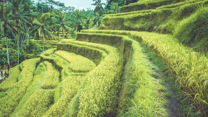 Tegalalang rice terrace fields with beautiful coconut palm trees growing on cascades, Ubud, Bali, Indonesia