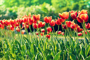 Terry tulips blooming in the park. Selective focus.