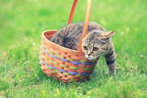 The cat climbs out of the basket to the lawn