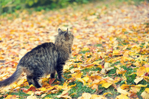 The cat walks along the fallen leaves in the garden