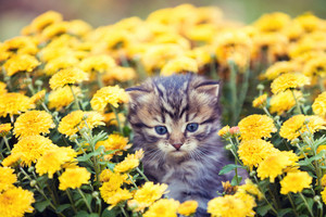 The little kitten sits in yellow flowers