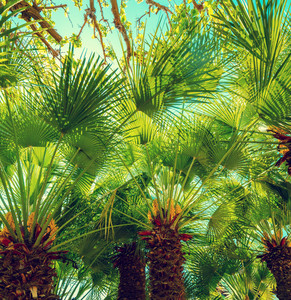 The row of Chamaerops humilis palm trees. Tropical landscape.