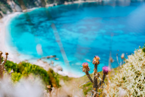 Thistle plant flower on blurred background with azure blue sea water petani beach. Summer on Kefalonia island, Greece, Europe.