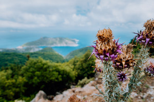 Thistle plant flower on blurred rocky shore line background on Kefalonia island, Greece, Europe