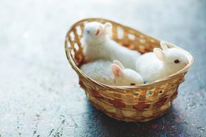 Three cute Easter bunnies in basket