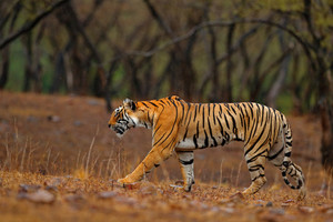 Tiger walking on the gravel road. Indian tiger female with first rain, wild animal in the nature habitat, Ranthambore, India. Big cat, endangered animal. End of dry season, beginning monsoon.
