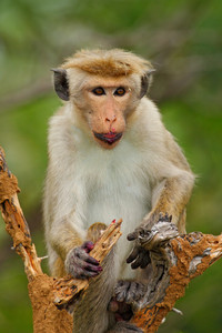 Toque macaque, Macaca sinica, monkey with fruit in the mouth, nature habitat, Sri Lanka