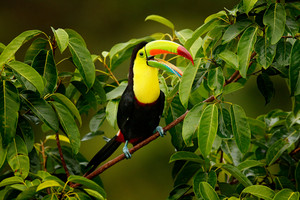 Toucan sitting on the branch in the forest, Boca Tapada, green vegetation, Costa Rica. Nature travel in central America. Keel-billed Toucan, Ramphastos sulfuratus, bird with big bill.