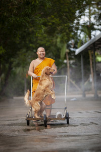 trad thailand - october16,2017 : thai monk and golden retreiver dog playing water splashing with happiness emotion