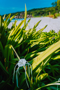 Tropical flower with defocused blurred Grand Anse beach in La Digue, Seychelles