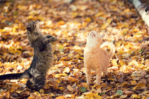 Two begging cats walking outdoor on the fallen leaves in autumn
