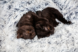 Two brown kitten lying together on a fluffy blanket
