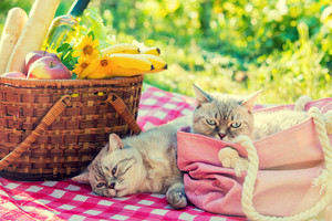 Two cats lie on a blanket near a picnic basket outdoors in summer