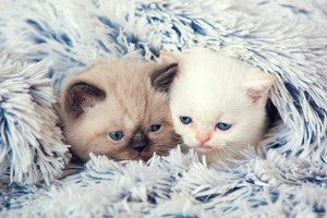 Two cute little kittens peeking out from under the soft warm fluffy blanket