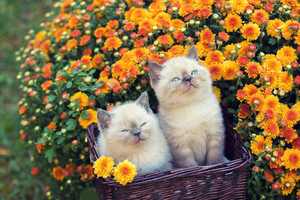 Two cute little kittens sitting in a basket near orange chrysanthemum flowers