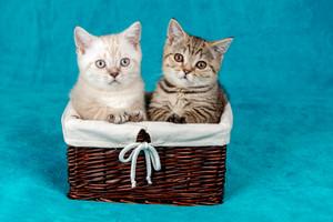 Two cute little kittens sitting in a basket