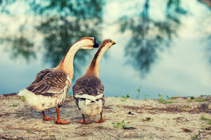 Two geese strolling along the lake shore