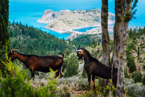 Two goats animal standing under cypress trees against amazing mountainous landscape of Assos in Greece. Greek countryside landscape