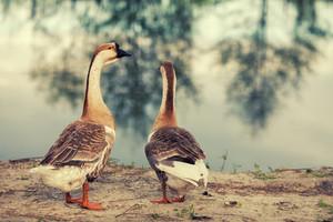 Two gooses walking on the lake bank