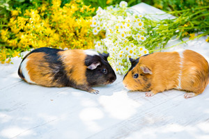 Two guinea pigs with flowers outdoors