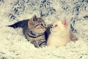 Two little kittens lying on fluffy blanket looking at each other