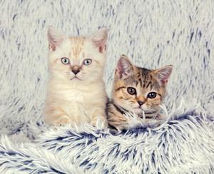 Two little kittens lying on fluffy blanket
