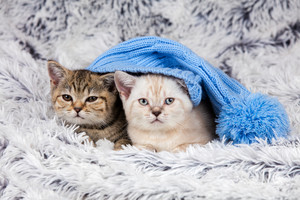 Two little kittens wearing big knitted cap lying on a fluffy blanket