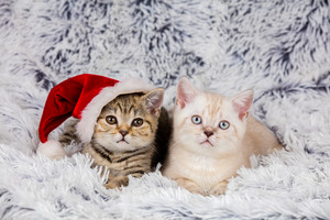 Two little kittens wearing Santa hat lying on a fluffy blanket