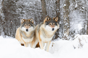 Two magnific wolves in wolf pack in cold winter forest