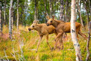 Two Moose Calves Walking In Forest At Summer