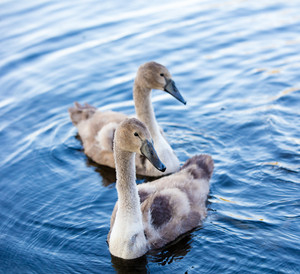 Two young swans swimming in lake