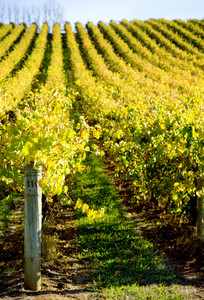 Vineyard with Shallow depth of field
