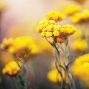 vintage big yellow soft meadow wild plants on bright colorful background in spring field. Sunny outdoor macro photo of beautiful flowers