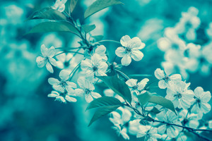 Vintage blossoming orchard. Branches with cherry flowers against blue sky, blue colored