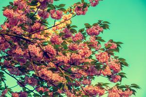 Vintage blossoming sakura against green background