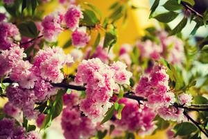 Vintage blossoming sakura