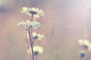 vintage chamomile. Nature field