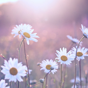 vintage daisy flowers at sunrise