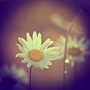 vintage daisy flowers at sunrise