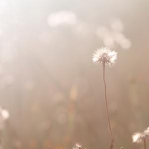 vintage field dandelion flower. Nature outdoor autumn photo