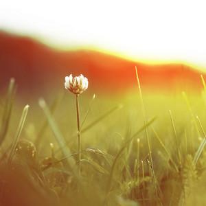 Vintage flower clover on the background of sunrise