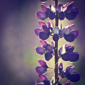 Vintage flowers lupine at sunrise